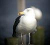 Great Black-backed Gull © Sandra Keller 2005