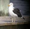 Kelp Gull © Sandra Keller 2005