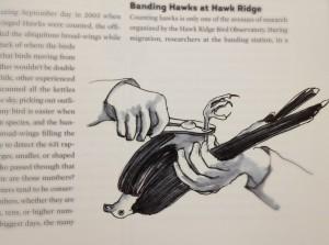 Hawk banding by Betsy Bowen