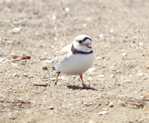 A well decorated Piping Plover at The Tip. Point Pelee, NP